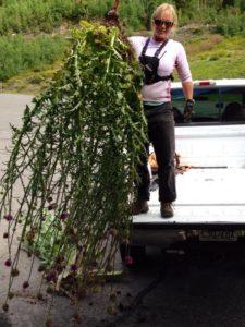 Alta Weed Pull @ Alta, UT